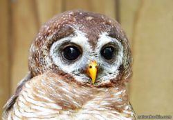 wood-owl