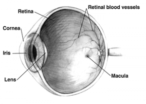 look-at-this-retina-in-this-cross-section-of-a-human-eye-300x214