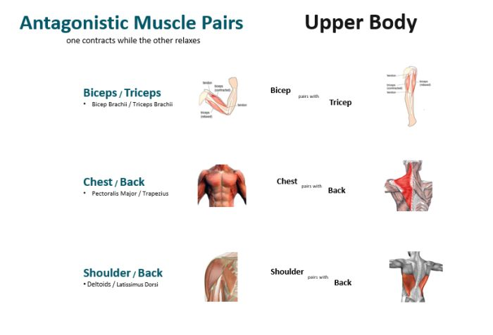Antagonistic Muscles - Upper Body Muscles