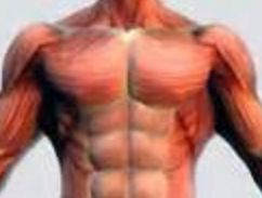 Upper Body Muscles - Chest Muscles