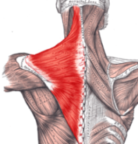 Upper Body Muscles - Trapezius Muscle