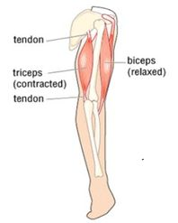 Should be exercising - Upper Body Muscles - Tricep Muscles