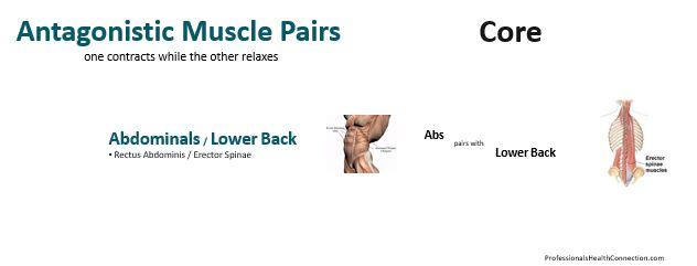 Antagonistic Muscle Pairs - Core
